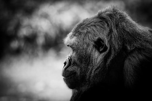 Gorilla Wisdom