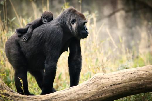 Baby Bomassa rides on momma Jamani's back