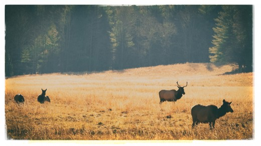 Elk grazing, Cataloochee Valley