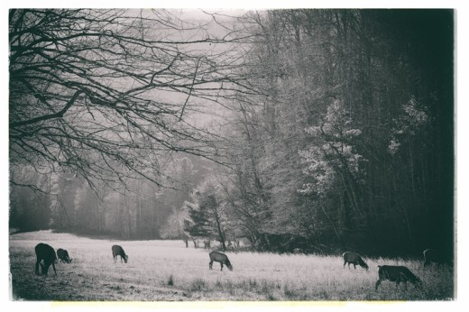 Elk grazing in the Cataloochee Valley
