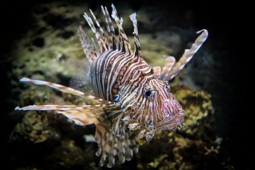 Lion Fish, Georgia Aquarium