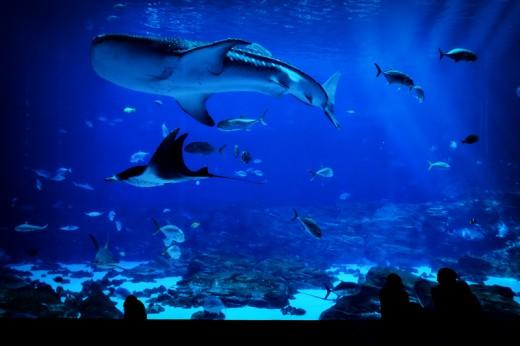 Whale Shark and Manta Ray, Georgia Aquarium