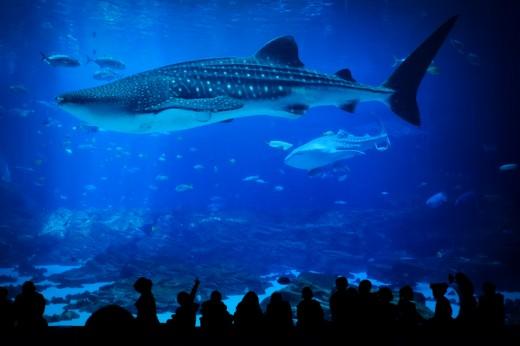 Whale Shark and Children, Georgia Aquarium