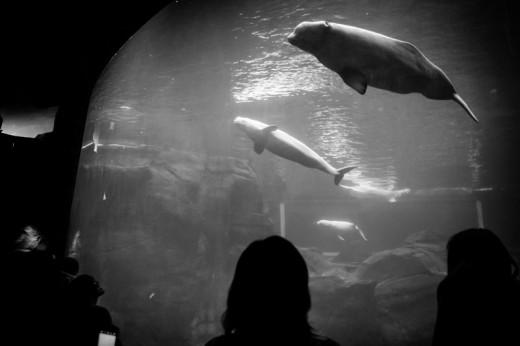 Beluga Whales, Georgia Aquarium