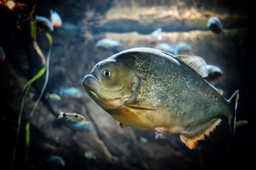 Piranha!! Georgia Aquarium