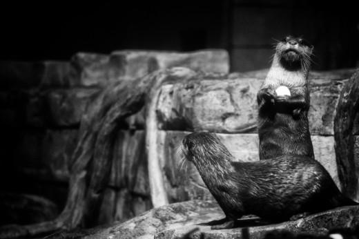 River Otters, Georgia Aquarium